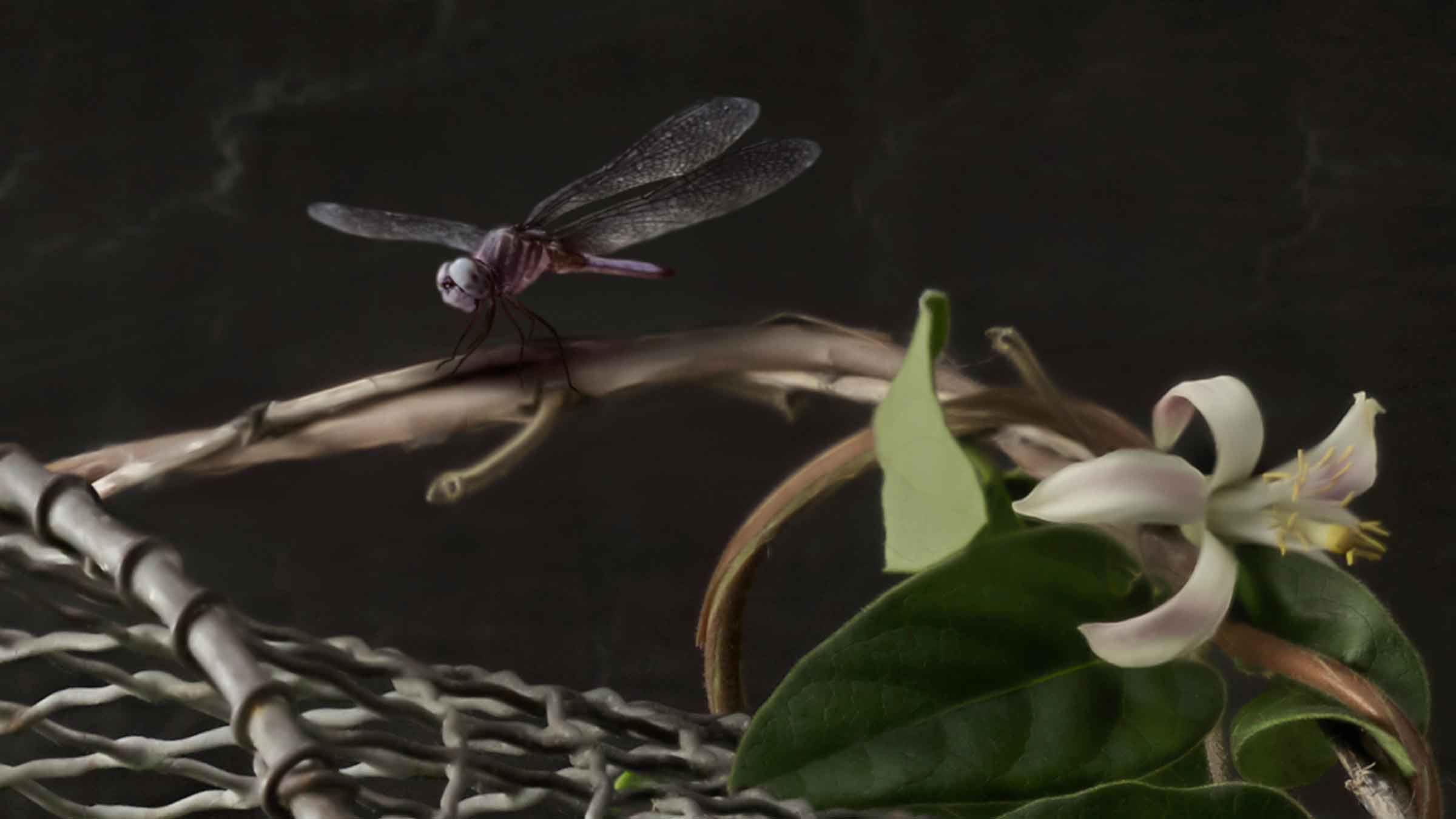 stroube-dragonfly-detail